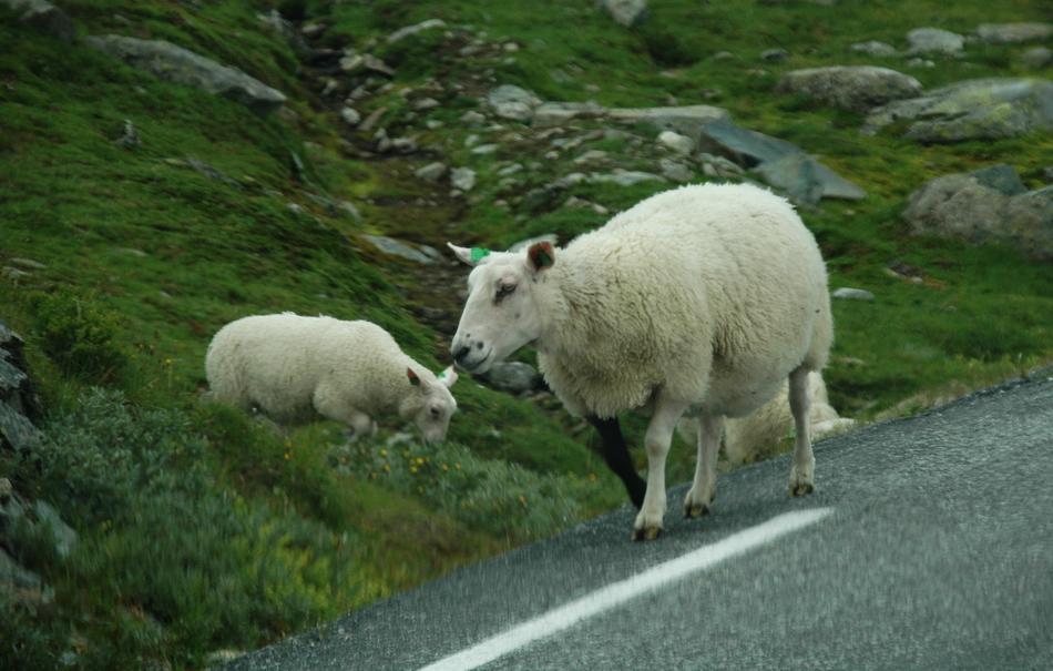 самые высокогорные овцы